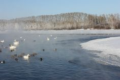 swans in icy lake