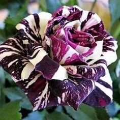 Rosa dragon