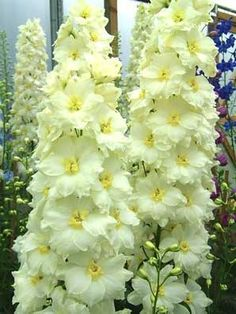 White Yellow Delphinum Seeds Perennial Giant Garden Flower Bright Sun Shade Exotic Yard Patio Deck Container Plant Home Hardy 564 by ToadstoolSeeds on Etsy Delphinium Flowers, Delphiniums, Flowers Perennials, Planting Flowers, Moon Garden, White Gardens, Flower Seeds, Flower Pots, Container Plants