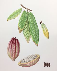 Theobroma cacao Geraldine MacKinnon #botanical #illustration