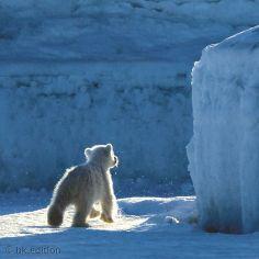 Scheinbar auf eigenen Füßen erkundet der kleine Eisbär seine Umgebung im arktischen Packeis. Doch seine Mutter bleibt immer in der Nähe, bis das Junge mindestens zwei Jahre alt ist. Erst dann hat der Nachwuchs für den Ernst des Lebens genug gelernt  – Diese Karte hier online kaufen: http://bkurl.de/pkshop-211183 Art.-Nr.: 211183 Lehrjahre | Foto: © Mireille de la Lez | Text: Rolf Bökemeier