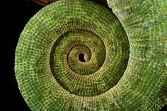 photo by @joelsartore | Can you believe this vibrant #green spiral is actually the tail of a four-horned chameleon at the @stlzoo? #Follow me @joelsartore to see more members of the #PhotoArk. #joelsartore #photooftheday by natgeo
