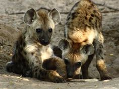 Hyena Sanctuaries in Andhra Pradesh, India @ Sanctuariesindia.com