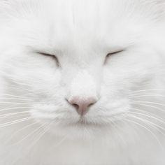 All white kitty <3