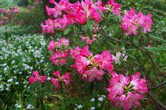 京都フォト通信: 西洋石楠花 Kyōto Botanical Garden, Sakyō-ku, Kyōto Fujifilm Finepix X100 京都府立植物園(京都市左京区下鴨半木町)
