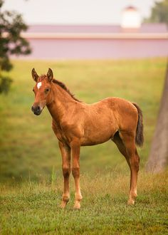 DEM Anabela bay Lusitano filly standing in field barn in background