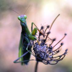 Pray Mantis-Beautiful!