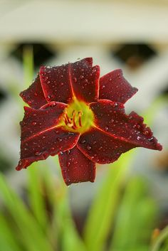 One of my red daylilies