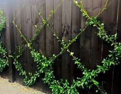 Planting Vines, Vine Fence, Espalier Fruit Trees, Wire Trellis, Timber Fencing, Small Backyard Landscaping, Landscaping Ideas, Backyard Ideas, Citrus Trees