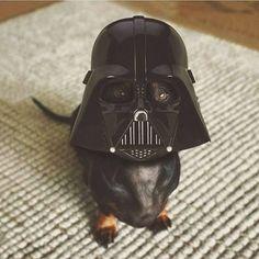 Luke, I'm your dachshund!