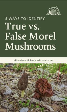 If you wish to be a mushroom forager, it is vital that you know difference between a true morel and a false morel mushrooms. This easy beginners guide for identifying true morels from false morels will save you from potential danger a simple confusion can cause. | Discover more about medicinal mushrooms at ultimatemedicinalmushrooms.com #foragingmushrooms #yellowmorel #commonmorel #truemorel #foragingforbeginners #foragingguide #huntingformushrooms #poisonousmushrooms Poisonous Mushrooms, Edible Mushrooms, Growing Mushrooms, Stuffed Mushrooms, Mushroom Varieties, Scary Facts, Mushroom Hunting, Very Scary, Confusion