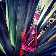 Pink Tequila 29 Two Nine in agave plant. Arandas, Jalisco, México.