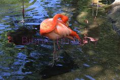 Flamingo photo - ShutterPoint Photography
