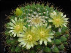 Mammillaria marksiana: cactus precioso que conoceremos a fondo