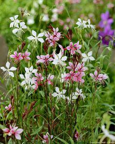 Gauras roses et blanches
