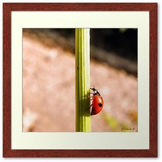Get your ladyBug Print Today! You can also get just the print unframed,if that fits your budget better. As well as on; Art, Canvas, Metal, or a Poster      http://www.redbubble.com/people/roxanna19/works/11879453-ladybug-by-carmencytha-2?p=framed-print      Ladybug by Carmencytha  I have permission from the artist to use her picture. Check out her work here:     http://carmencytha.deviantart.com/