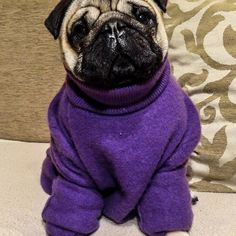It's almost march and I'm wearing my purple pullover so I guess the spring is near  #mauricethepug #spring #waitingforthesummer #pullover #purple #march #optimistic #pug #mops #dog #puppy