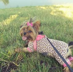 Lily's Corner ⋆ Crystal Eve - Yorhkshire Terrier - Cute Dogs