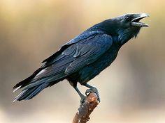 corvus corax - Google Search