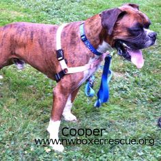 Cooper is a striking 4 year old brindle boy being fostered in Portland OR. Find out more about him on our website -  www.nwboxerrescue.org or our Facebook page -  www.facebook.com/northwestboxerrescue