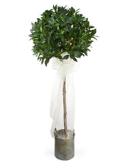 5 foot Green Bay Tree