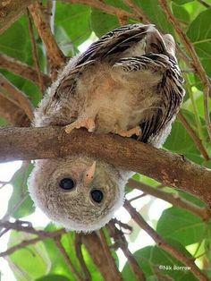 Cute baby owlet upside down!