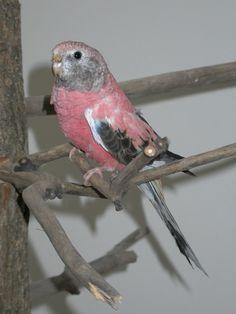 Parakeet - Rosy Bourke's