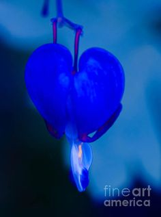 Blue Bleeding Heart Flower Photographed by Michael P. Moriarty Prints available click the photo.