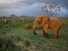 Elephants roam Kenya's Samburu National Park, one of many destinations for viewing wildlife in the East African nation.  [Photo by Michael Nichols, National Geographic]