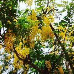 Uma chuva de ouro em plena temperstade