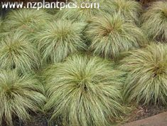 "carex_comans ""frosted_curls"" - (Longwood tussock, maurea) New Zealand native. A popular cultivar grass with pale green leaves distinctly curling at the tips. Similar use and tolerances to the other comans grasses."