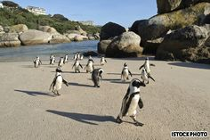 cape town--africa---who doesnt want to see penquins running on the beach