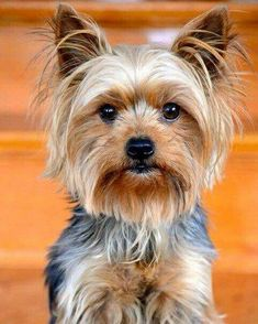 Yorkshire Terrier - Energetic and Affectionate