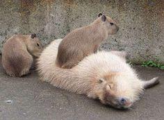 http://animalfactsblog.com/peruvian-guinea-pig/