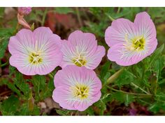 Oenothera speciosa (Pink evening primrose) tons of these together along a white picket fence. Yes please