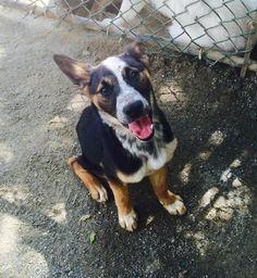 Meet Rapunzel, a Petfinder adoptable Australian Cattle Dog (Blue Heeler) Dog | Richmond, VA | I'm Rapunzel and I'm looking for my forever home!I'm a 6 month old cattle dog/border collie cross...
