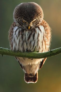 fuzzy owl looking down