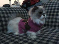 Munchkin cat dawnphenomenon