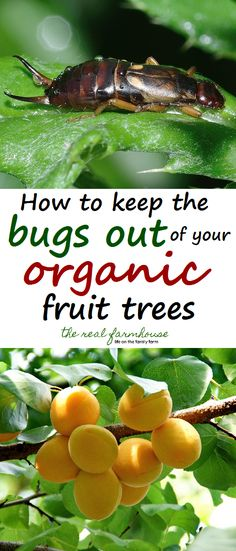The most effective and easy way to keep the creepy crawlies out of your precious tree fruit.