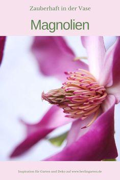 Die Magnolien blühen im Frühling so üppig, dass du ruhig den einen oder anderen Zweig für die Vase schneiden kannst. Sie halten erstaunlich lange.