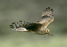 Nature lovers are being asked to record any sightings of hen harriers