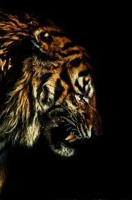 #Tiger growling