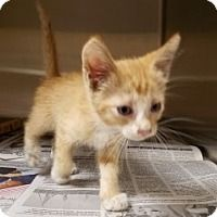 Beasley - URGENT - Alvin Animal Adoption Center in Alvin, Texas - ADOPT OR FOSTER - Male KITTEN Domestic SH