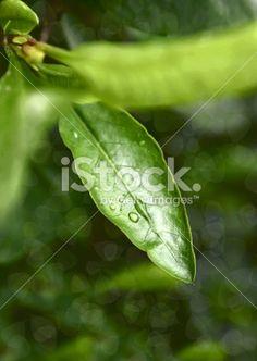 Green leaf with water drops Foto sin derechos de autor