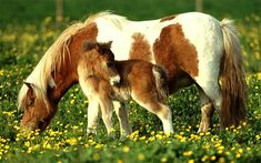 Horses and ponies are measured (commonly) in what measurment?