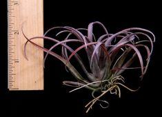 Plant Oddities-Tillandsia capitata v. Domingensis