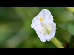 Time-lapse of flower.