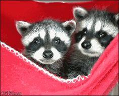 Kit-raccoon-yawns-cubs