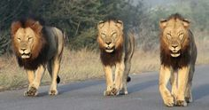 Intimidating - Kruger National Park