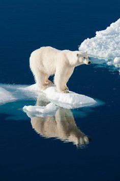 Polar Bear and Reflection (Art Prints, Wood & Metal Signs, Canvas, Tote Bag, Towel) Wild Animals Pictures, Bear Pictures, Animal Pictures, Nature Animals, Animals And Pets, Baby Animals, Cute Animals, Baby Giraffes, Polar Bear On Ice